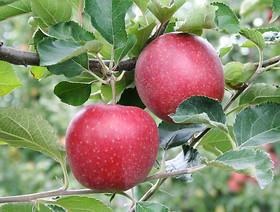 Zasady eksportu jabłek do Chin