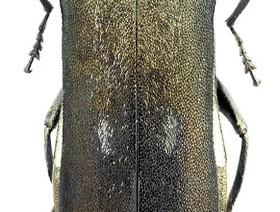 agrilus fleischeri,k1uUwl caFOE6tCTiHtf