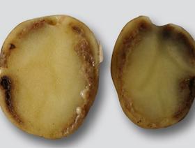 Wyklucznie podejrzenia wystąpienia bakterii Clavibacter michiganensis ssp. sepedonicus w sadzeniakach ziemniaka odm. Kuras