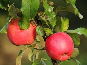 Rejestracja podmiotów zainteresowanych eksportem jabłek do Kolumbii