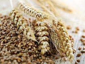 Rynek meksykański dla polskiej pszenicy już otwarty