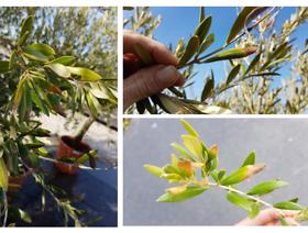rosliny oliwek,k1uUwl caFOE6tCTiHtf
