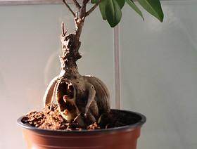 Wykrycie szkodnika Opogona sacchari (mola bananowego) w roślinach Ficus giseng