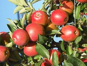 Rejestracja podmiotów zainteresowanych eksportem jabłek na Tajwan