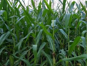 Kontrola upraw na obecność organizmów genetycznie modyfikowanych (GMO)