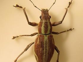 naupactus xanthographus 1,k1uUwl caFOE6tCTiHtf