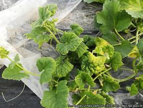 tomato leaf curl new delhi virus 1,k1uUwl caFOE6tCTiHtf