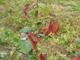 blueberry scorch virus,k1uUwl caFOE6tCTiHtf