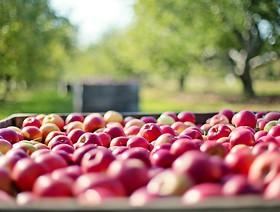 Kolumbia - kolejny rynek dla polskich jabłek już otwarty