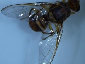 bactrocera dorsalis,k1uUwl caFOE6tCTiHtf