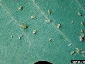 illinoia liriodendri,k1uUwl caFOE6tCTiHtf