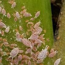 pseudococcidae,k1uUwl caFOE6tCTiHtf