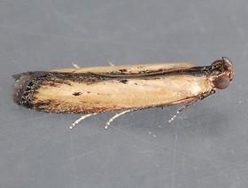 elasmopalpus lignosellus 1,k1uUwl caFOE6tCTiHtf