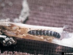 elasmopalpus lignosellus 2,k1uUwl caFOE6tCTiHtf