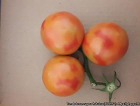Nowe wymagania Unii Europejskiej dla rozsady oraz nasion pomidora i papryki