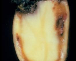 Ralstonia solanacearum - podstawowe informacje